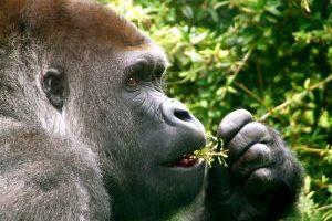 Zakaj imajo celo opice rade meso?