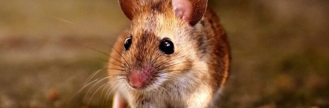 Miši živijo dlje z melatoninom