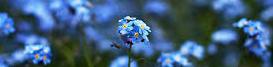 Modra cvetlica